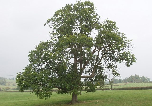 Ash Tree near Bayhurst Wood