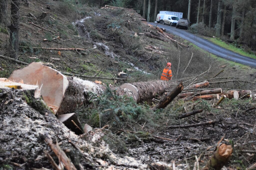 Stu Liddle of Liddle Forestry cross cutting a large Sitka.