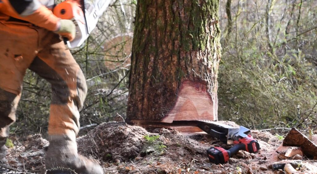 Directional felling of the Larch trees to avoid any damage to the young hardwoods.
