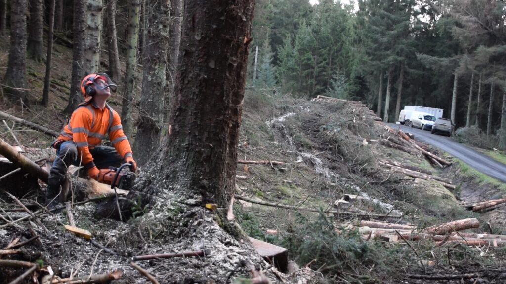 Stu Liddle of Liddle Forestry felling a large Sitka.